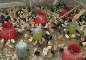 Cücələr ev quşları