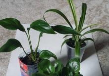 spatifilum>xlorofitum>kalanxoe