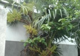 25illik palma ağacı