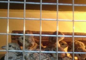 Kəklik cücələri