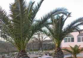 Palma feniks 2 si 20 illik bitkidi