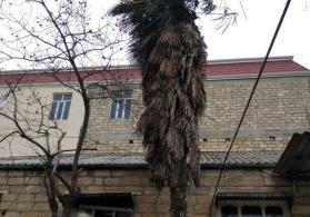 Gəncədə yaşı 20 il olan palma ağacı