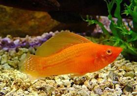 Valiferi  balığı