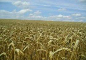 Quba Qusar yolunda  ekin bag sahesi satilir