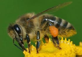 Təcili arı ailəsi satılır.Yeşik ilə birlikdə