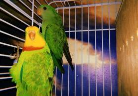 Роскошный баррабандов попугай Длина тела 40 см, хвоста 20—22 см.