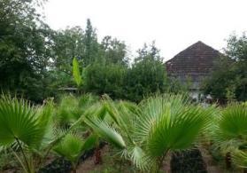 Vasinkton palma