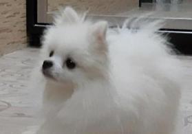Pomeranian spitz satılır erkək.