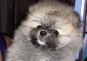 Pomeranian spitz balaları