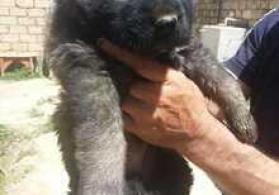 Qafqaz ovçarkası