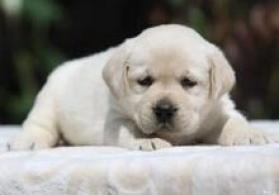 Labrador balaları