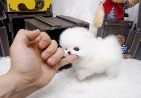 Pomeranian bala