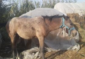 At satilir