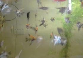 Akvarium balıqları