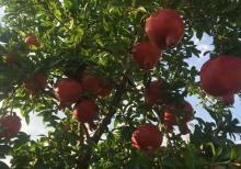 meyve bagi satilir