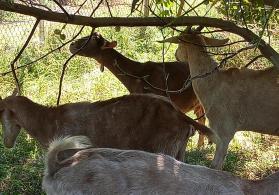 Sanən və alpin keçiləri