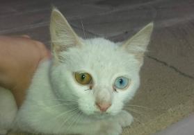 müxtəlif rəngli gözləri olan pişik
