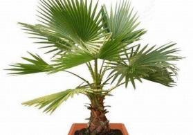 Palma agaclari