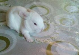 dovşan balaları satıram