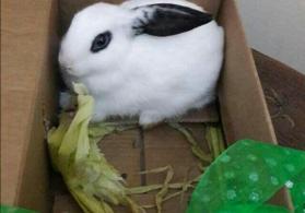 ağ dovşanlar